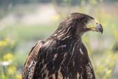Golden eagle resting in the sun with open mouth — Stock Photo