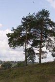 Pines — Stock Photo
