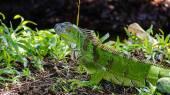 Green Iguana — Stok fotoğraf