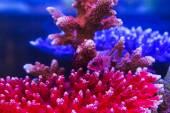 African Malawi Cichlid  aquarium fish — Stock Photo