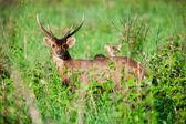 Barking deer in forest  — Stock Photo