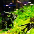 ������, ������: A green beautiful planted tropical freshwater aquarium with fish