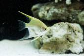 Angelfish (Pterophyllum scalare) in the fish tank — Stock Photo