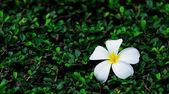 Fangipani flower and leaf — Stock Photo