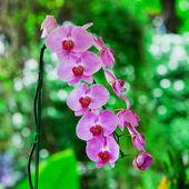 Beautiful purple orchid - phalaenopsis — Stock Photo