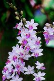 Fiori dell'orchidea rosa scuri — Foto Stock