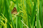 Butterfly sits on a spike, wheat — Stock Photo