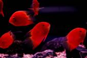 Red cichlid fish, ruby red peacock fish — Stock Photo