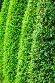 緑の葉の壁の背景 — ストック写真