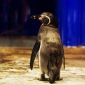 Pinguin — Stockfoto