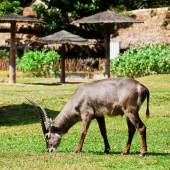 Oryx or Gemsbuck - African Wildlife Background — Stock Photo