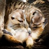 Family of Meerkats — Stock Photo