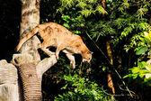 Puma Face in the wild — Stock Photo