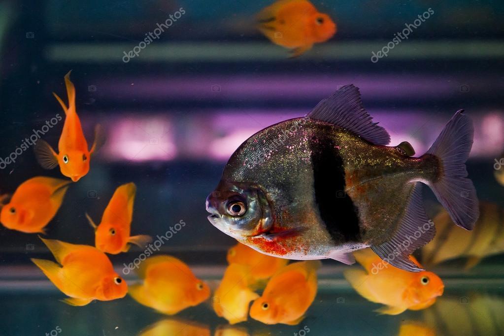 Cardumen de peces tropicales pira a en acuario de agua - Peces tropicales fotos ...