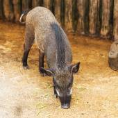Wild Boar in the evening light in a forest in thailand — Stock Photo