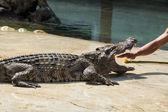 在泰国鳄鱼 — 图库照片