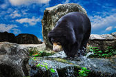 Black bears fishing — Foto Stock