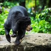 Svartbjörnar — Stockfoto