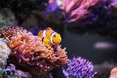 Clown fish — Stock Photo