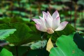 Lotus flower beautiful lotus. — Stock Photo