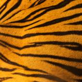 Beautiful tiger fur - colorful texture with orange, beige, yello — Stock Photo