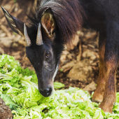 Serow, the endanger species in thailand — Stock Photo