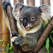 Koala bear in the zoo — Stock Photo