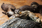 Smooth coated Otter - Lutrogale perspicillata - after a swim in — Stock Photo
