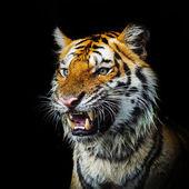 Jonge Sumatraanse tijger lopen van phantom — Stockfoto