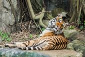 Bengal Tiger in the Thailand — Stock Photo