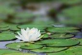 Beyaz lotus — Stok fotoğraf