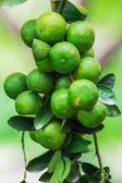 Common lime — Stock Photo