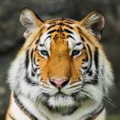Tiger, — Stock Photo