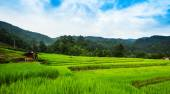 Paddy field in Thailand — Stock Photo