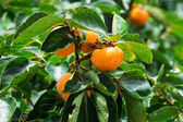 Thailand persimmon tree. — Stock Photo