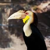 Wreathed Hornbill (Aceros Undulatus),Bali - Indonesia — Stock Photo