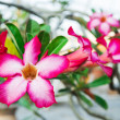 Adenium obesum (Desert Rose Impala Lily Mock Azalea) — Stock Photo #72745197