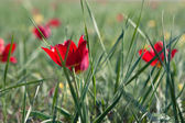 Wild tulips are flowering in the spring meadow — Stock Photo