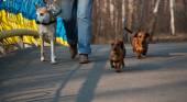 Tres perros (dos dachshunds) en la ciudad a pie con mujer — Foto de Stock