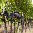 Rows of ripe grapes in a vineyard before harvest — Stock Photo #64315627