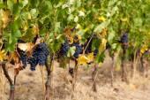 Filari di uva rossa matura in una vigna prima della raccolta — Foto Stock