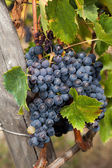 Bunche of ripe red grapes, ready to be harvested — Stock Photo