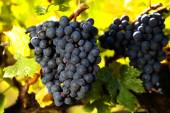 Bunches of ripe red grapes, ready to be harvested — Stock Photo