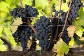 Mazzi di uva rossa matura, pronta per essere raccolta — Foto Stock