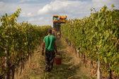 Harvest grapes — Stock Photo