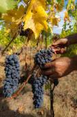 Harvesting grapes by hand — Stock Photo