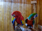 Parrots Maccaw 1 — Stock Photo