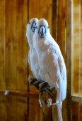 White Parrots — Stock Photo