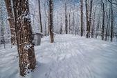 В лесной клен.. — Стоковое фото