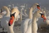 白鳥と冬 — ストック写真